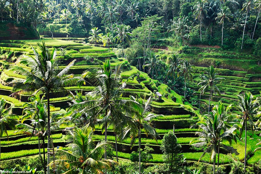rice fields bali by Birmingham travel photographer Paul Ward