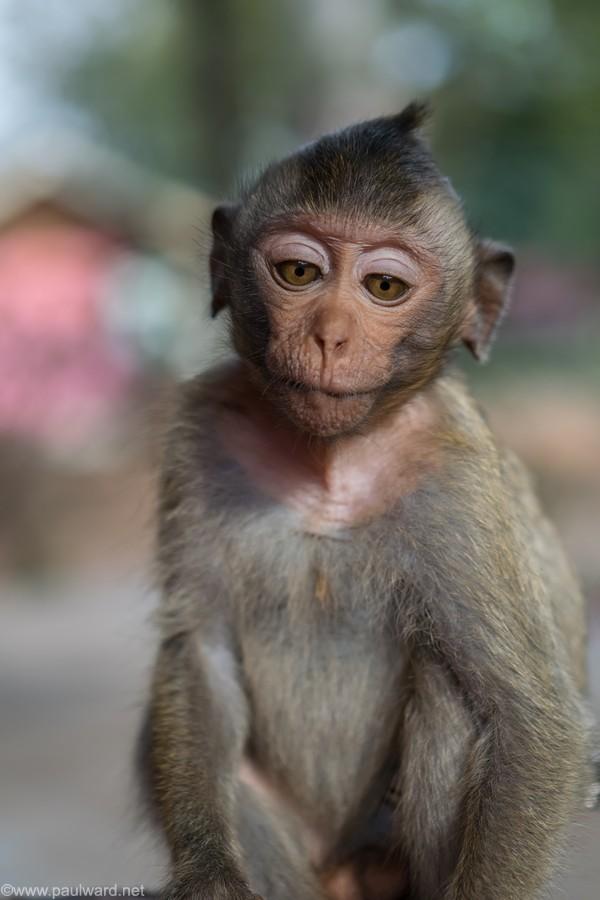 monkey by travel photographer Paul Ward