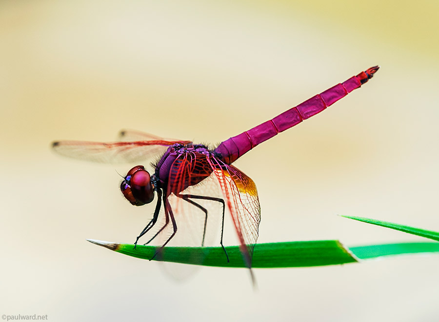 red dragonfly by nature photograpger Paul Ward