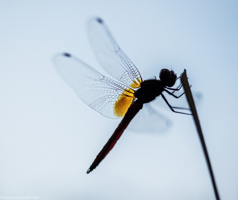 dragonfly silouette by nature photograpger Paul Ward