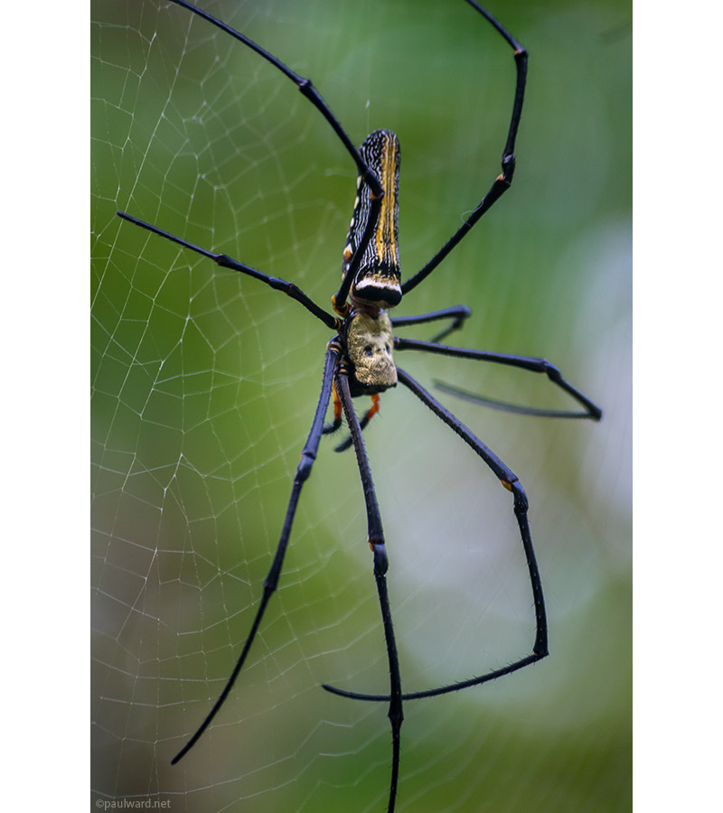 Golden orb spider by nature photograpger Paul Ward