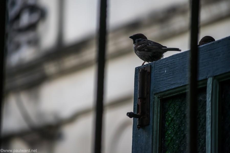 sparrow thailand
