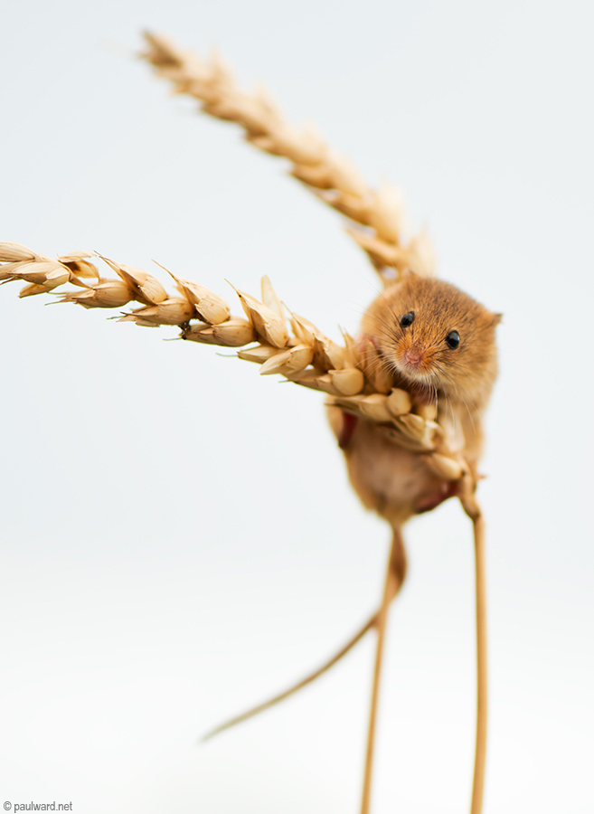 Harvest mouse by wildlife photographer