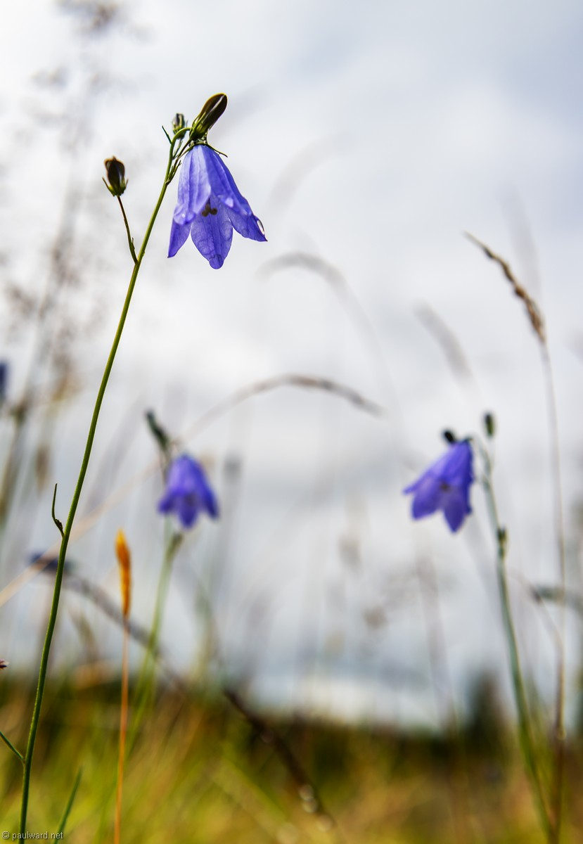 Hairbell flowers, Norway, landscape photography by Travel Photographer Paul Ward