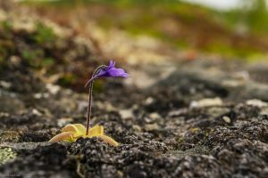 Butterwort flower, Norway, landscape photography by Travel Photographer Paul Ward