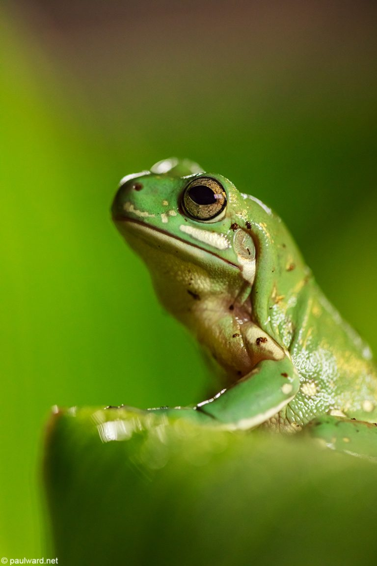 Tree frog by nature photographer Paul Ward