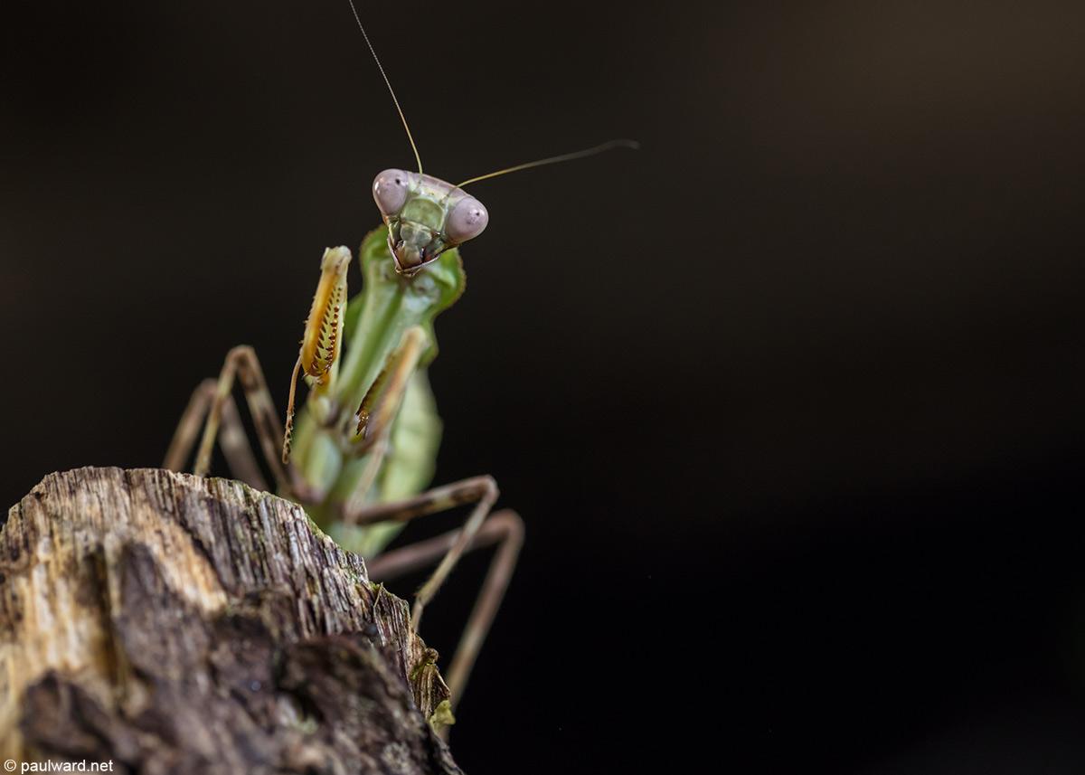 Praying Mantis by nature photographer Paul Ward