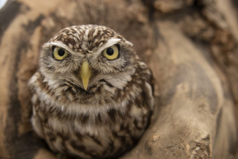 Little Owl by Nature photographer Paul Ward
